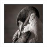 Preening Cormorant