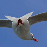 No! not an Albatross