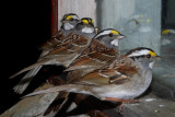 038  WHITE THROATED SPARROWS
