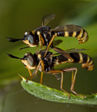 A Conopid Fly / Thick-Headed Fly (conops vesicularis)