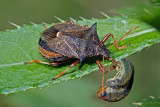 Predator II (picromerus bidens)