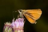 Essex Skipper (thymelicus lineola)