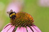 Buff-Tailed Bumblebee and Flower