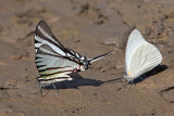 Mineral Junkies II (Rothschild's Swordtail and Other Butterfly)