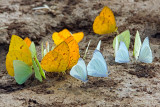 Mineral Junkies (Orange-Barred Sulphur Butterflies)