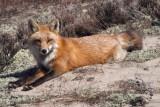 Lazy Brown Fox