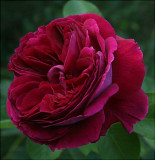 David Austin English Roses III