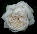 My Favorite David Austin Roses