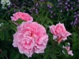 David Austin English Roses V
