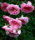 My Favorite Modern Roses