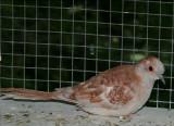 Red Diamond Dove