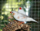 White Finches