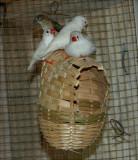 cute little Finches