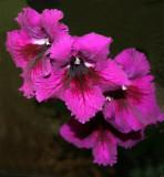 Streptocarpus cultivar