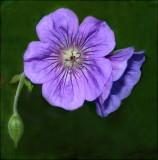Geranium (Cranesbill variety)  I love the Cranesbill Geraniums!