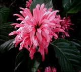 Jacobinia carnea