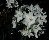 Narcissus ... picture taken just before dark