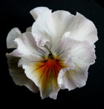 Another Pansy   ~  I have lots of Pansys now ;-) ~