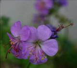 Geranium variety