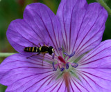 Geranium & Friend ~Her wings were moving so fast , you can see her body in this pic