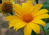 Margarita amarilla (Wedelia tribolata)