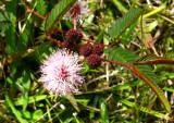 Moriviví, Sensitive plant (Mimosa pudica)