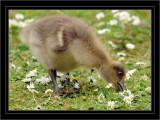 Greylag Chick. Pensthorpe. Norfolk. UK