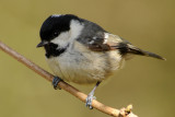 Coal Tit. Barnwell Country Park. Oundle . UK.