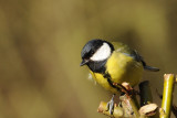 Great Tit. Barnwell Country Park. Oundle. UK