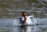 Great Crested Grebe. Barnwell Country Park. Oundle. UK