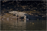 SALTWATER CROCODILES ALSO CALLED INDIAN MUGGER