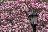 Sakura Matsuri Cherry Blossom Festival at  Brooklyn Botanic Garden