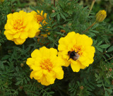 Small marigolds, large visitor