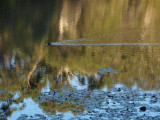 Reflections, with a coot