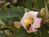 Bee in an unidentified tree
