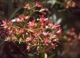 New South Wales Christmas Bush