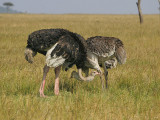 Ostriches with crooked necks.jpg