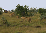 Prowling lions.jpg