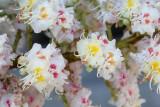 Aesculus hippocastanum Witte paardenkastanje
