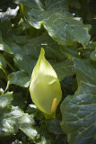 Arum Italicum Italiaanse aronskelk
