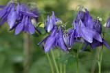 Aquilegia vulgaris  Wilde Akelei