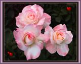 Roses at Manito Gardens, Spokane