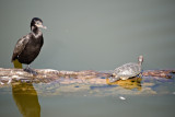 Cormorant and a turtle.jpg