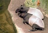 10-tapirs.JPG