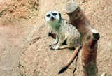 11_meerkat.JPG