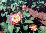 07_rose_2.JPG