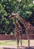 11 giraffes.JPG