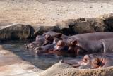 05_3043_3_hippos_b.JPG