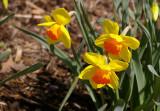09_3077_daffodils.JPG