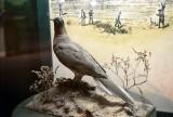 24_passenger_pigeon.jpg